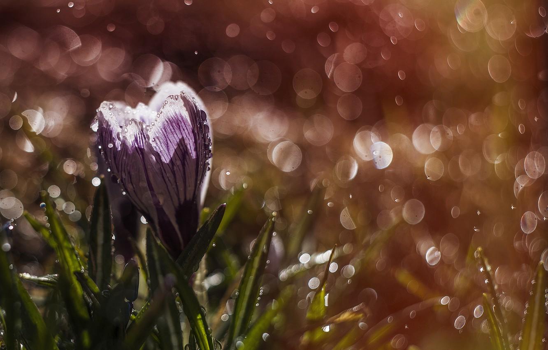 Фото обои цветок, капли, макро, природа, дождь, весна, крокус, боке, шафран