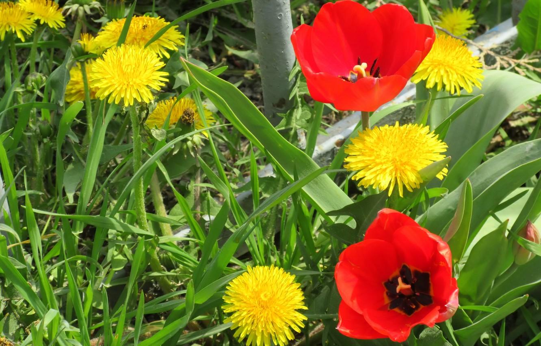 Фото обои цветы, тюльпаны, одуванчики, клумба, весна 2018, Mamala ©