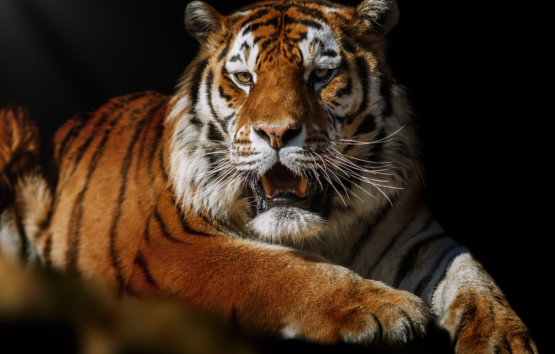 Фото обои тигр, поза, животное, хищник, Олег Богданов