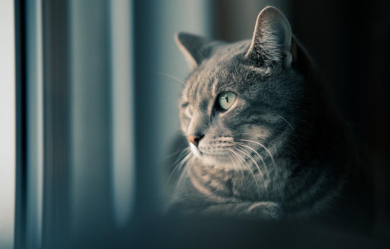 Фото обои кошка, взгляд, мордочка, котейка