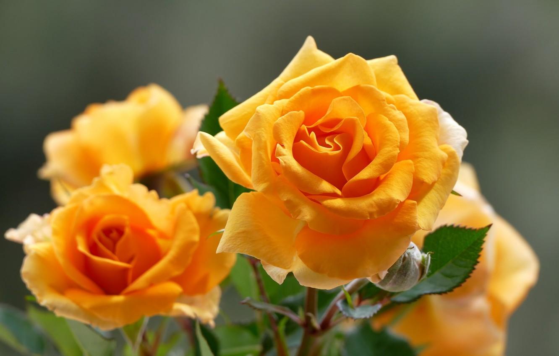 Желтые розы картинках