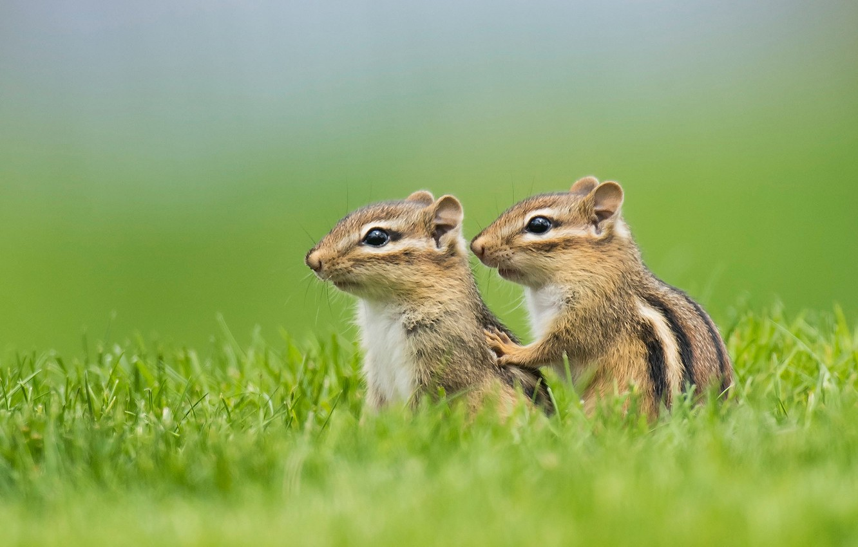 Фото обои трава, парочка, бурундуки, детёныши