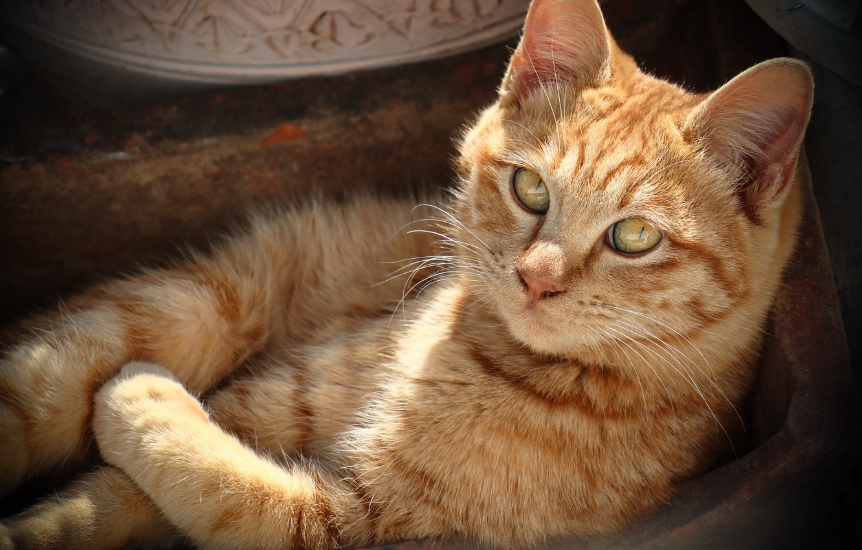 Фото обои кошка, кот, взгляд, отдых, рыжий, мордочка, котейка