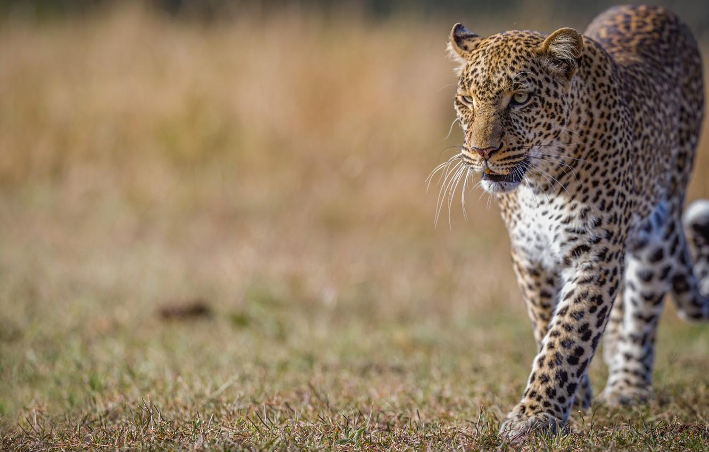 Фото обои фон, леопард, дикая кошка