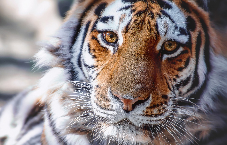 тигр фото добрый числе удобств каждого