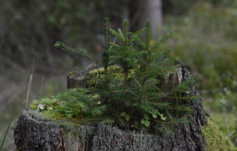 Фото обои лес, мох, пенек, елочки