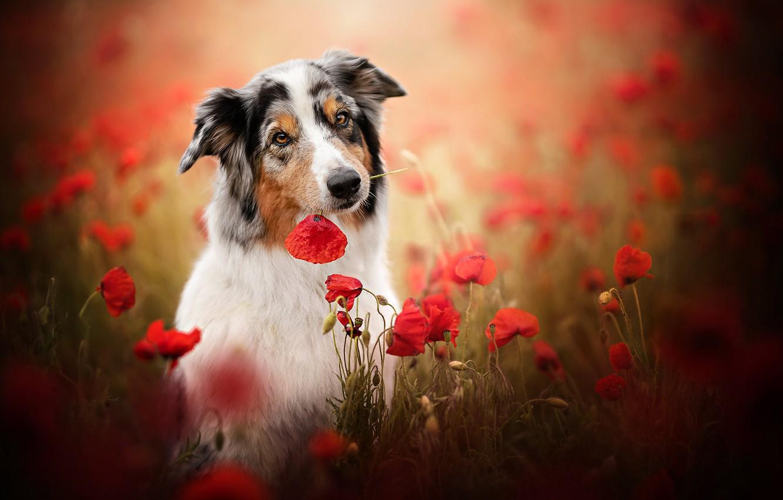 Фото обои морда, цветы, маки, собака, боке, Австралийская овчарка, Аусси