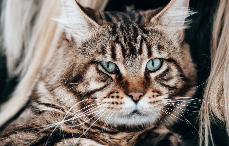Фото обои кот, взгляд, портрет, мордочка, котэ