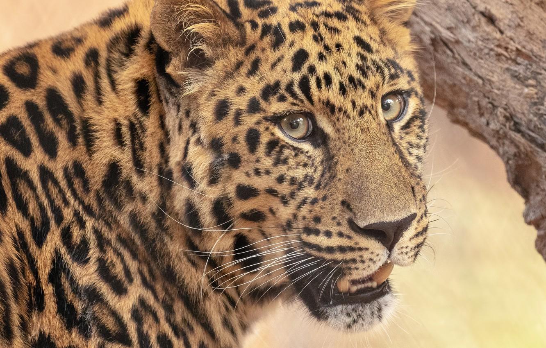 Фото обои взгляд, морда, портрет, леопард, дикая кошка