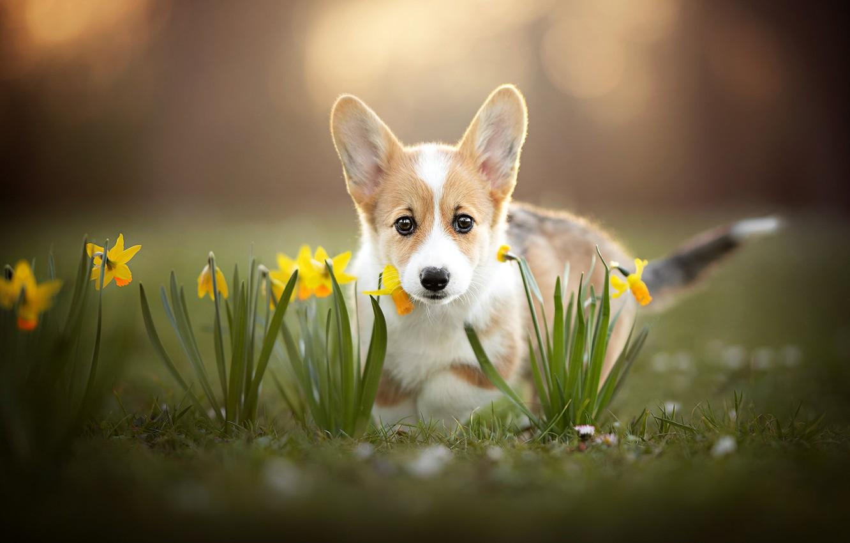 Фото обои взгляд, цветы, щенок, мордашка, нарциссы, боке, пёсик, Вельш-корги