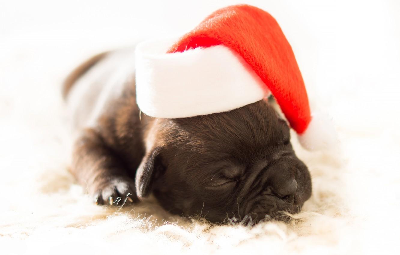 Фото обои красный, сон, собака, маленький, малыш, мордочка, Рождество, спит, щенок, белый фон, Новый год, лежит, мех, …