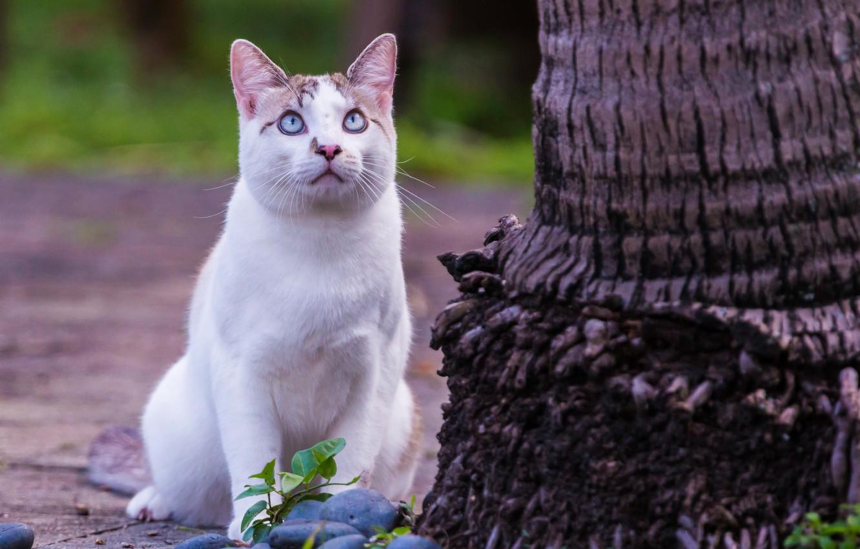 Фото обои кошка, взгляд, дерево, голубые глаза, наблюдение
