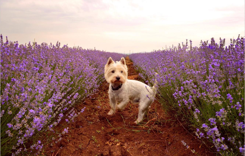 Фото обои Лаванда, Lavender, Вест-хайленд-уайт-терьер, Лавандовое поле