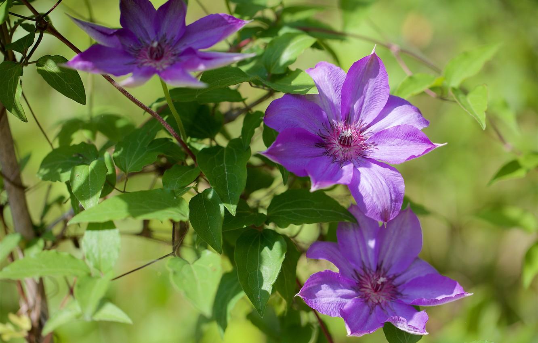 Обои Клематис, цветок. Разное foto 7