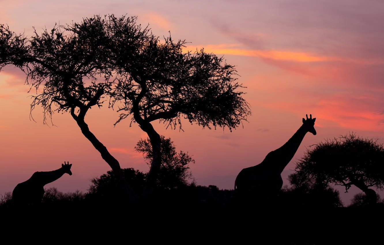 Фото обои небо, деревья, закат, ночь, жираф, жирафы, силуэты