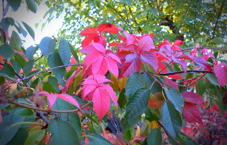 Фото обои зелень, осень, листья, клён, autumn, leaves, macro