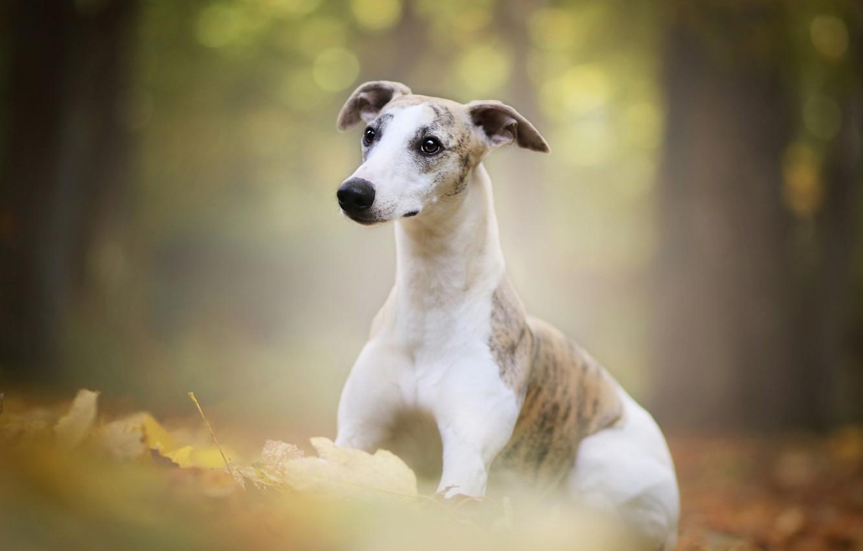 Фото обои осень, лес, листва, портрет, собака, щенок, боке