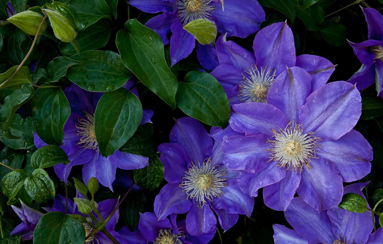 Обои Клематис, цветок. Разное foto 16