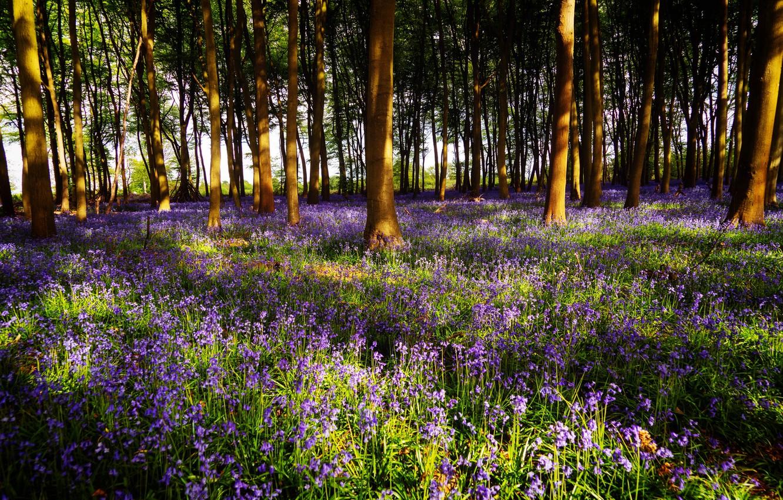 Фото обои лес, свет, деревья, цветы, ветки, поляна, весна, тени, колокольчики, сиреневые