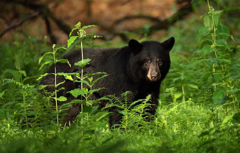 Фото обои зелень, взгляд, морда, листья, заросли, черный, медведь, папоротник, барибал