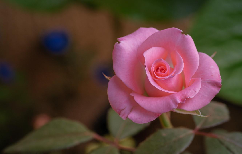 Фото обои цветок, листья, макро, природа, роза
