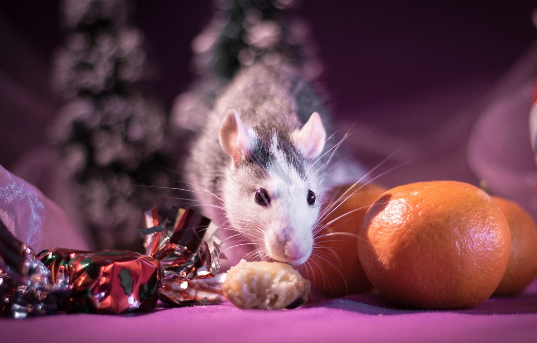 Фото обои взгляд, свет, фон, розовый, праздник, еда, размытие, мышь, мышка, мордочка, Новый год, зверек, фрукты, конфета, …