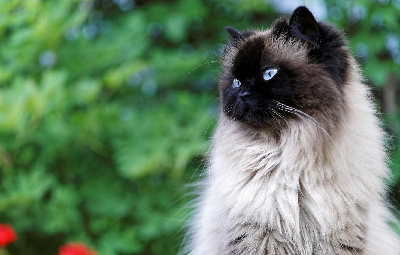 Картинки сиамских котят пушистых