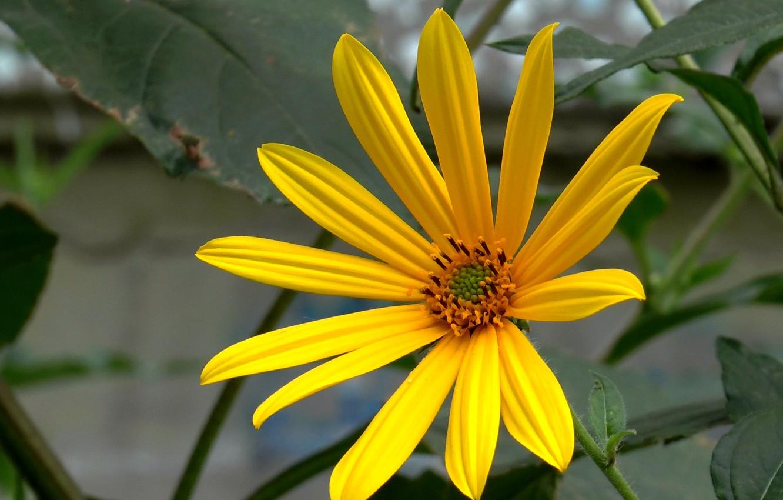 Фото обои цветок, лето, июль, Тапинамбур