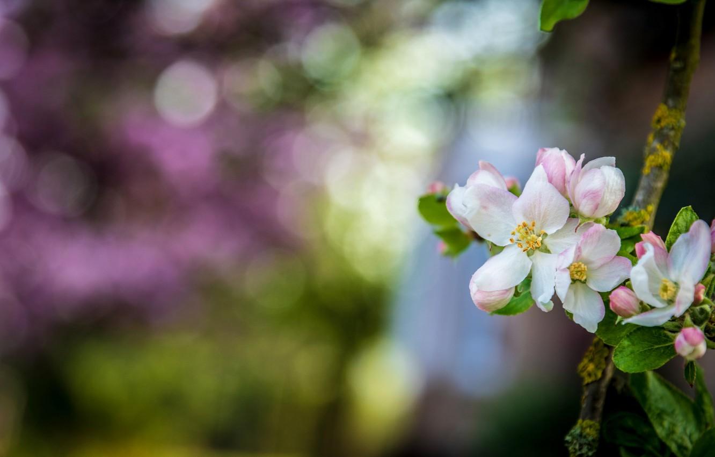 Фото обои цветы, ветка, Весна, яблоня, цветение, боке