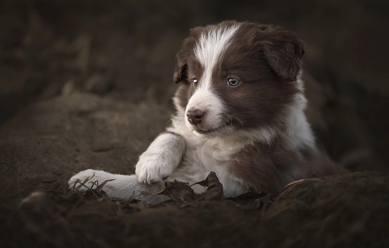 Фото обои взгляд, природа, камни, животное, листва, собака, щенок, детёныш, бордер-колли