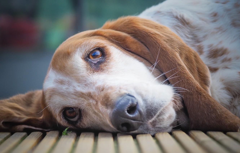Фото обои взгляд, морда, собака, Бассет-хаунд