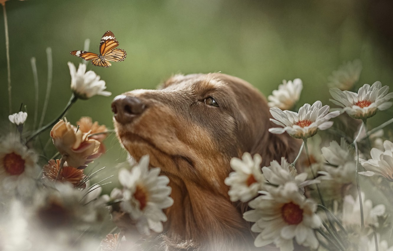 Фото обои цветы, природа, животное, бабочка, ромашки, собака, голова, пёс