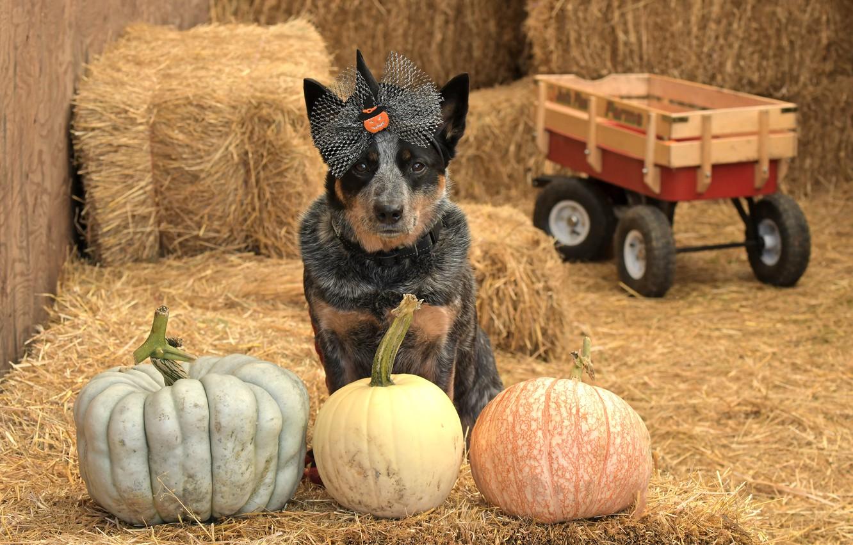Фото обои друг, собака, тыквы, хеллоуин