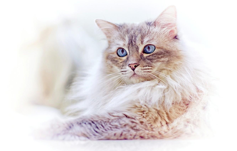 Фото обои кошка, взгляд, мордочка, голубые глаза, светлый фон, Рэгдолл