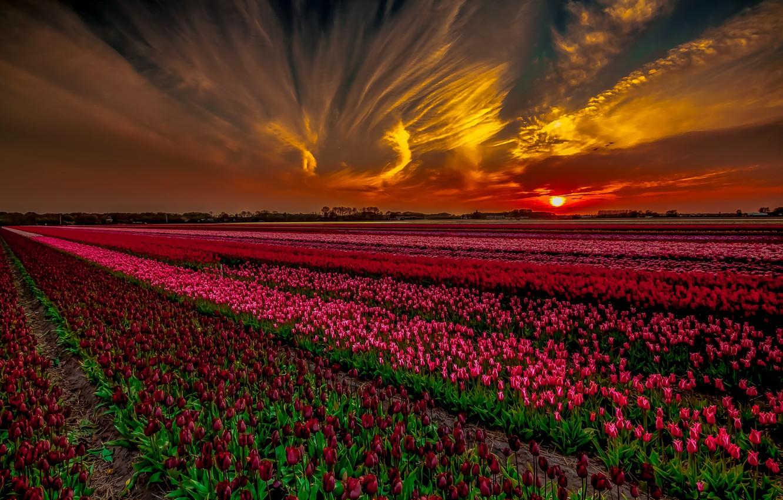 Фото обои поле, закат, тюльпаны