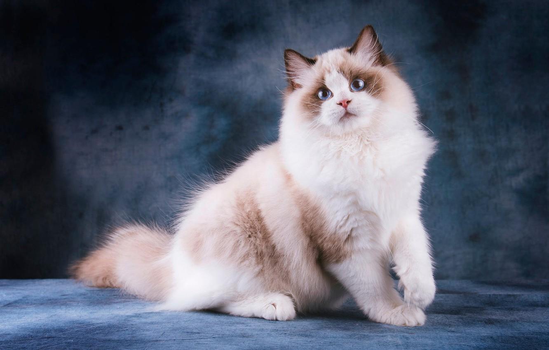 кошка рэгдолл голубая фото который может