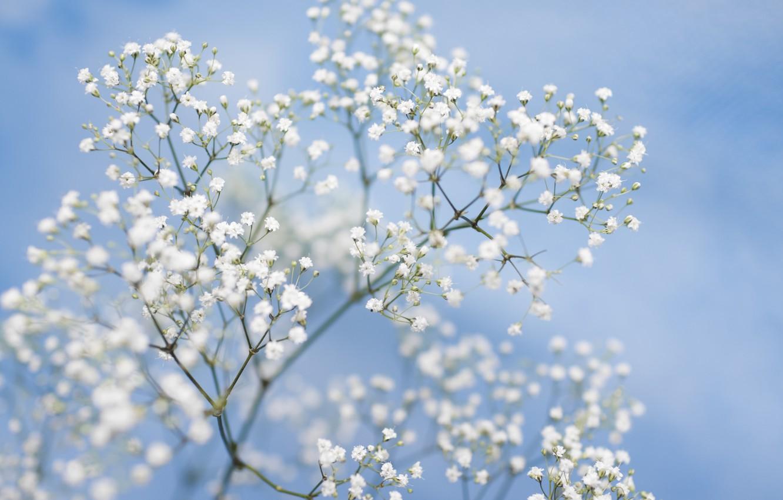 Фото обои цветы, нежность, картинка, голубой фон, боке, гипсофила, белые цветки