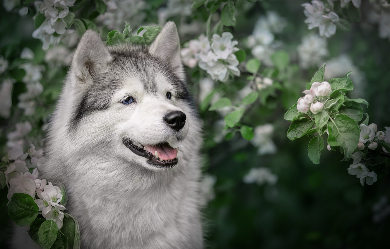 Фото обои морда, ветки, собака, весна, яблоня, цветение, Хаски, Светлана Писарева