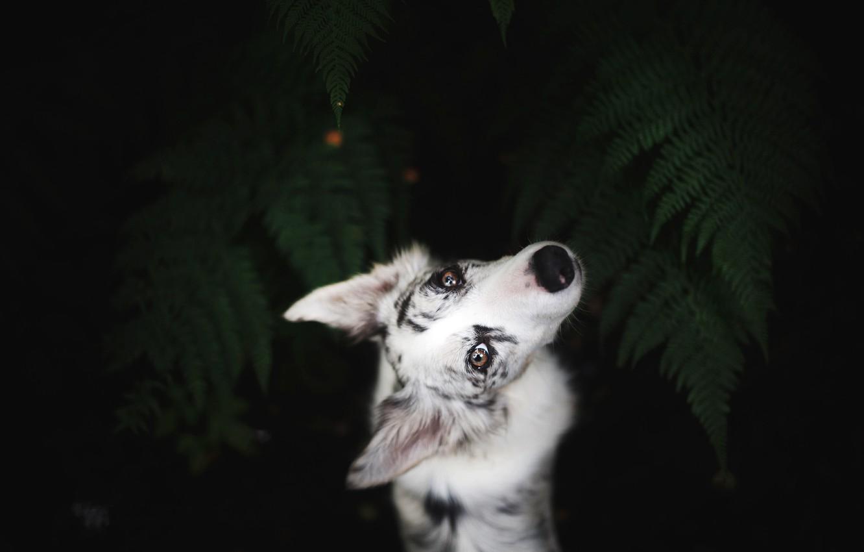 Фото обои взгляд, листья, природа, поза, темный фон, портрет, собака, белая, папоротник, ракурс, вид сверху, бордер-колли, смотрит …