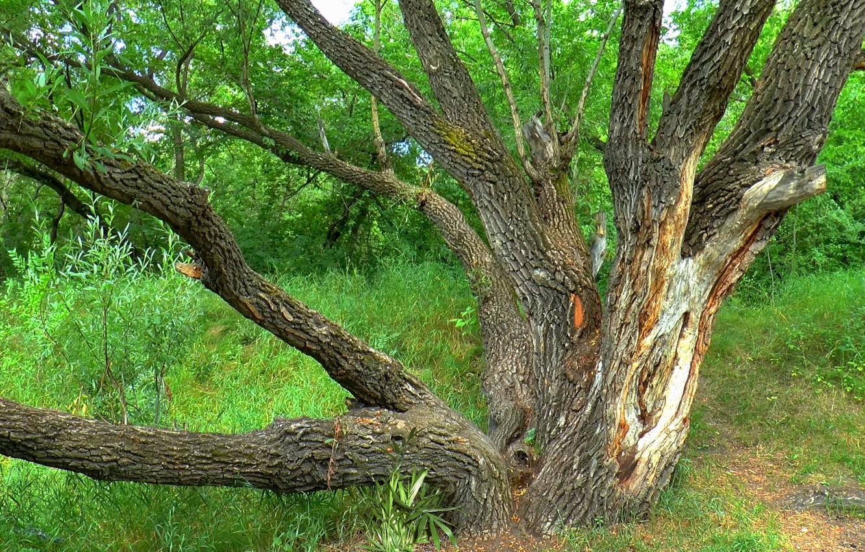 Фото обои лето, природа, дерево, ива