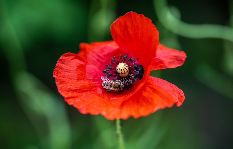 Фото обои зелень, цветок, красный, пчела, один, мак, маки, боке