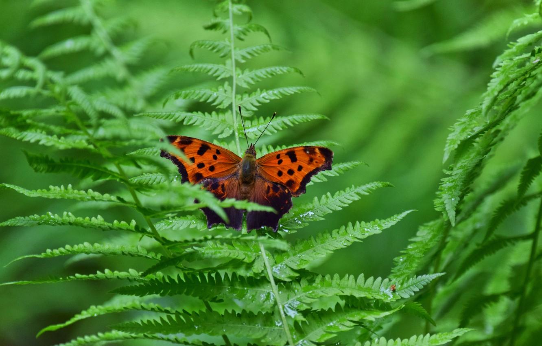 Фото обои листья, макро, природа, бабочка, папоротник