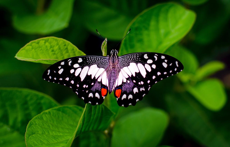Фото обои зелень, листья, бабочка, черно-белая