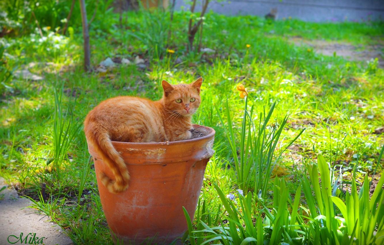 Фото обои Кошка, Кувшин, Рыжая кошка