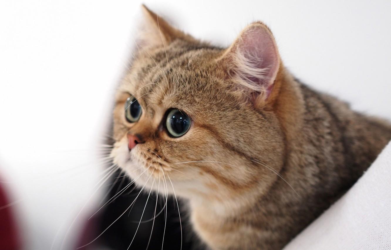 Фото обои кот, взгляд, портрет, мордочка, котэ, глазища, котейка, Британская короткошёрстная кошка
