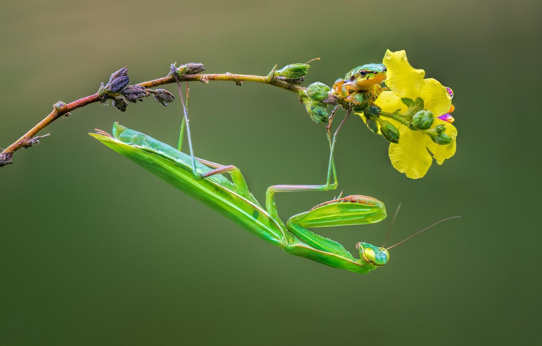 Фото обои ветка, богомол, насекомое, квакша