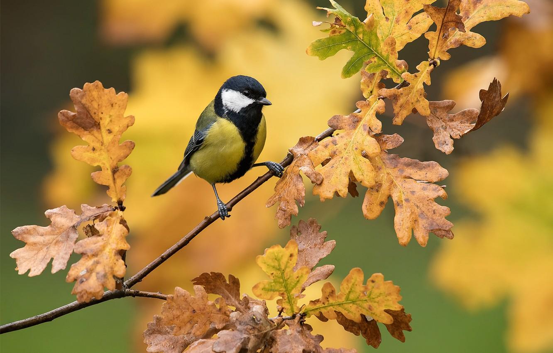Фото обои листья, фон, птица, ветка, дуб, синица