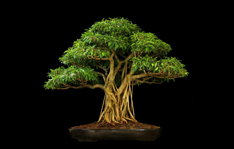 Фото обои фон, темный, бонсаи, три деревца