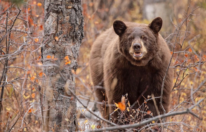 фото большого медведя в лесу за деревом первый год, бактерии
