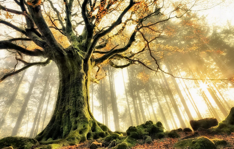 Фото обои лес, природа, туман, дерево